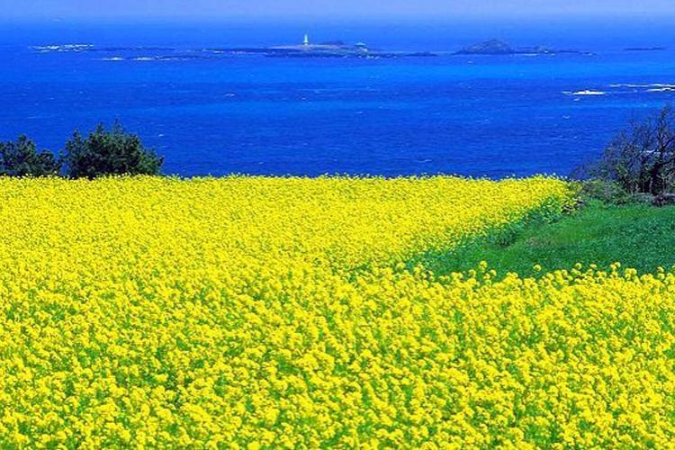 hoa cải màu vàng nở, biển xanh